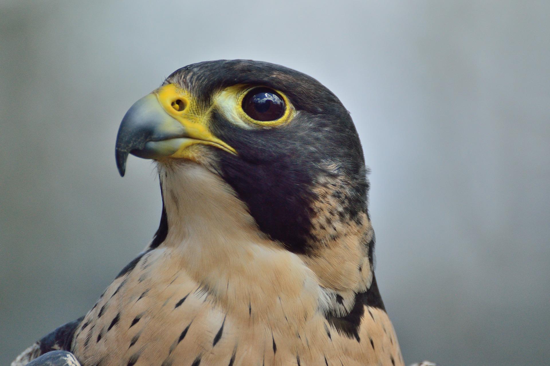 falcon2-free